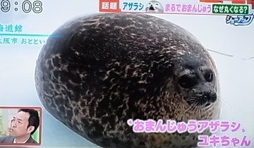 アザラシ ユキ ちゃん